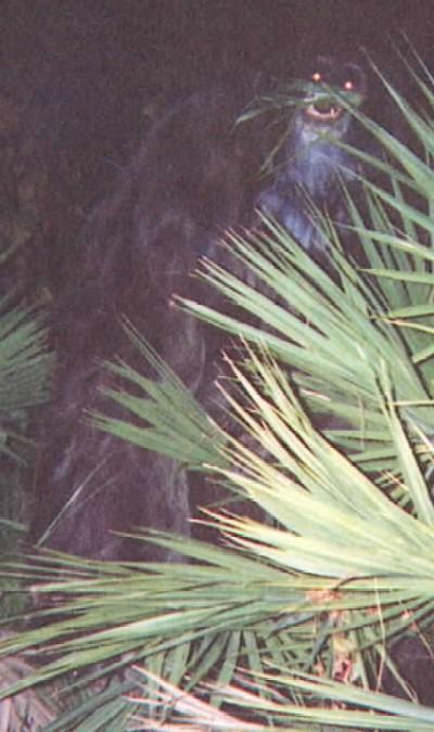Myakka Ape