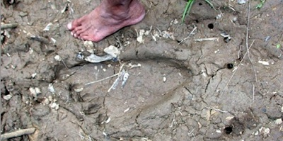 New Malaysian Bigfoot Tracks!