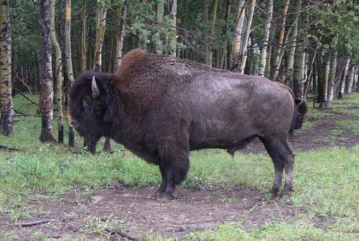 bison-2006-024