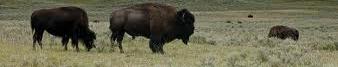 bisonsbanner