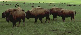"""Who Is Buffaloing Whom? Sharon Hill, Ketchum's Foolish References and That Alberta """"Sasquatch Hair"""" Analysis"""
