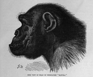 ChimpanzeeProfile