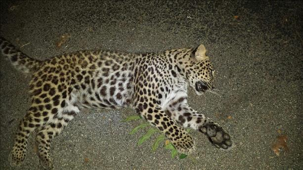 "Indiana ""Bobcat"" Killed, Identified As Leopard"