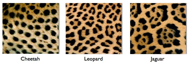 leovsjaguar