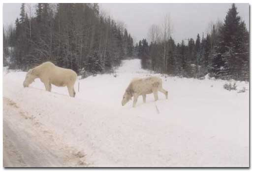 white_moose_drayton_valley