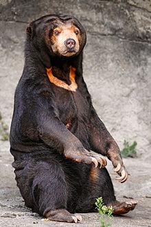 220px-Sitting_sun_bear