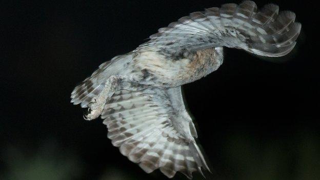 _70262317_owlinflight