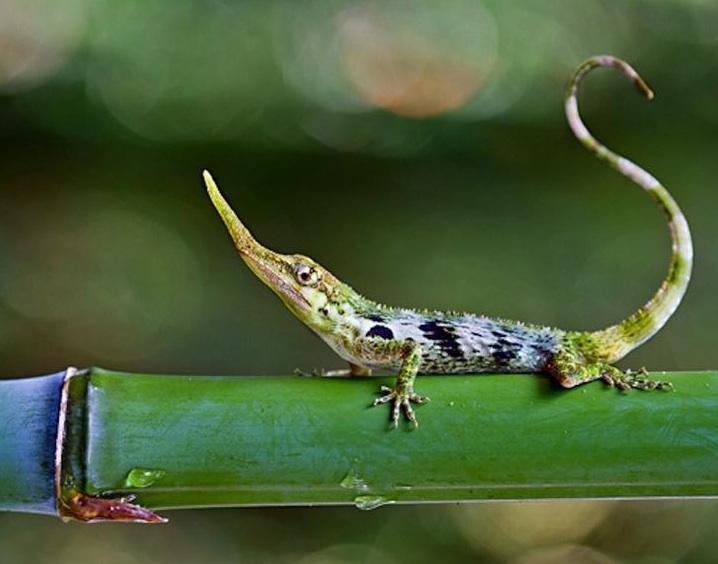 extinct pinocchio anole rediscovered