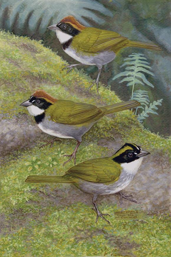 image_1492-Guerrero-Brush-Finch