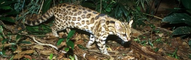 New Cat Species Realized For Brazil