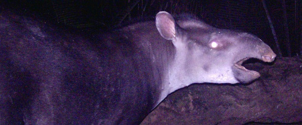 Largest New Mammal Discovery of 21st Century: Fifth Species of Tapir