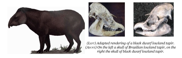 Debate Over Discovery of New Tapir