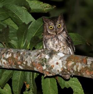 Rinjani-scops-owl