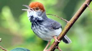 cambodian tailorbird1
