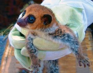image_1266_1-Lavasoa-lemur