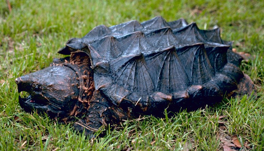 There Are Three Alligator Snapping Turtle Species