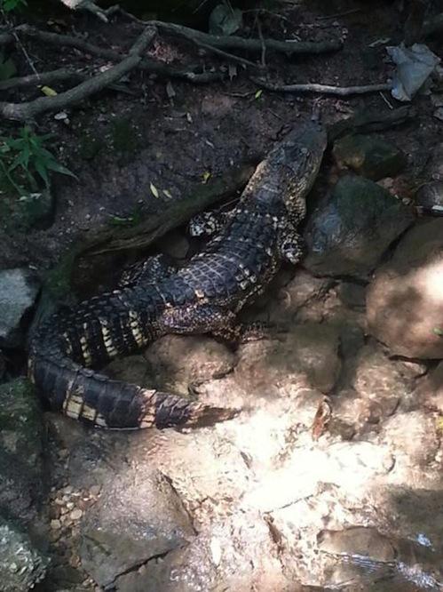 MJS Alligator