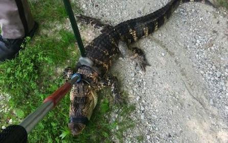 Alligator_Sheboygan