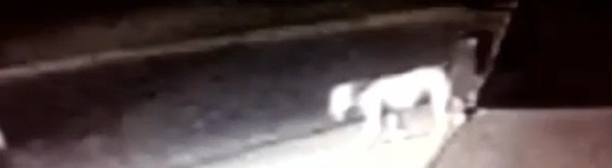 Maned Mystery Lion On Norwalk Video