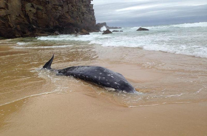 Cryptic Beaked Whale Washes Ashore On Redhead Beach, Australia