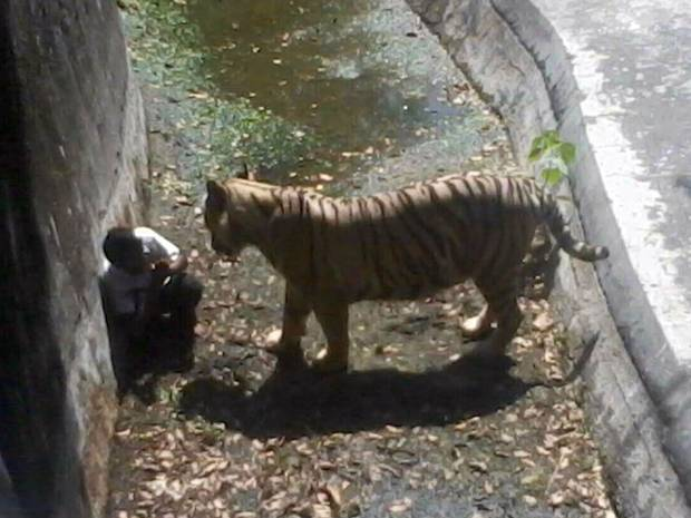 Recent Zoo Animal Attacks: Camel, Jaguars, Cougars, Tapirs, and Tigers