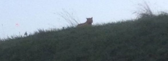 Mystery Cat or Tiger Seen, Photographed, Tracked Near Disneyland Paris