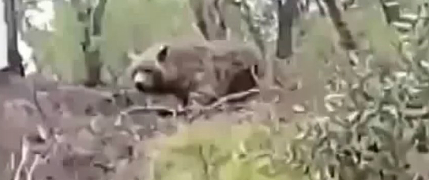 Cryptid Atlas Bear Filmed?