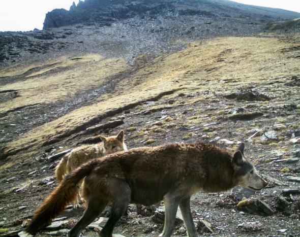 02-himalayan-wolf.adapt.590.1