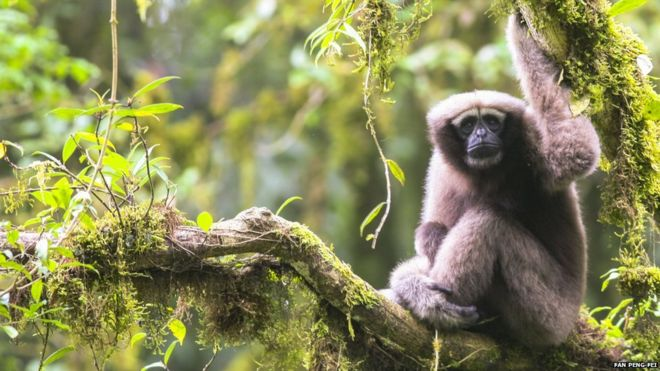 New Species of Gibbon Discovered