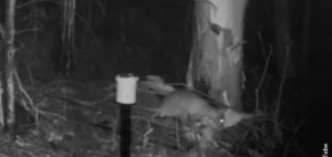 chupacabra-creepy-animal-caught-on-night-viision-camera-in-australia-137806