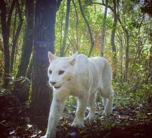 white puma