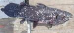2018_07_06 [A] Ikan Di duga Coelacanth