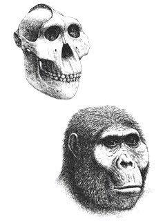 Paranthropus