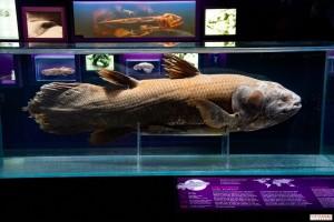 Ocean exhibit coelacanth