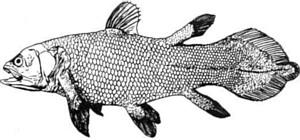 12554-coelacanth-b