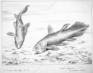 Latimeria chalumnae Smith, coelacanth