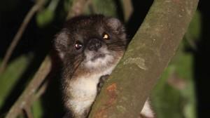 tree-hyrax